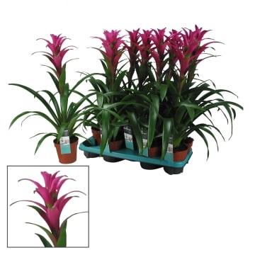 Guzmania freya Indoor Plants