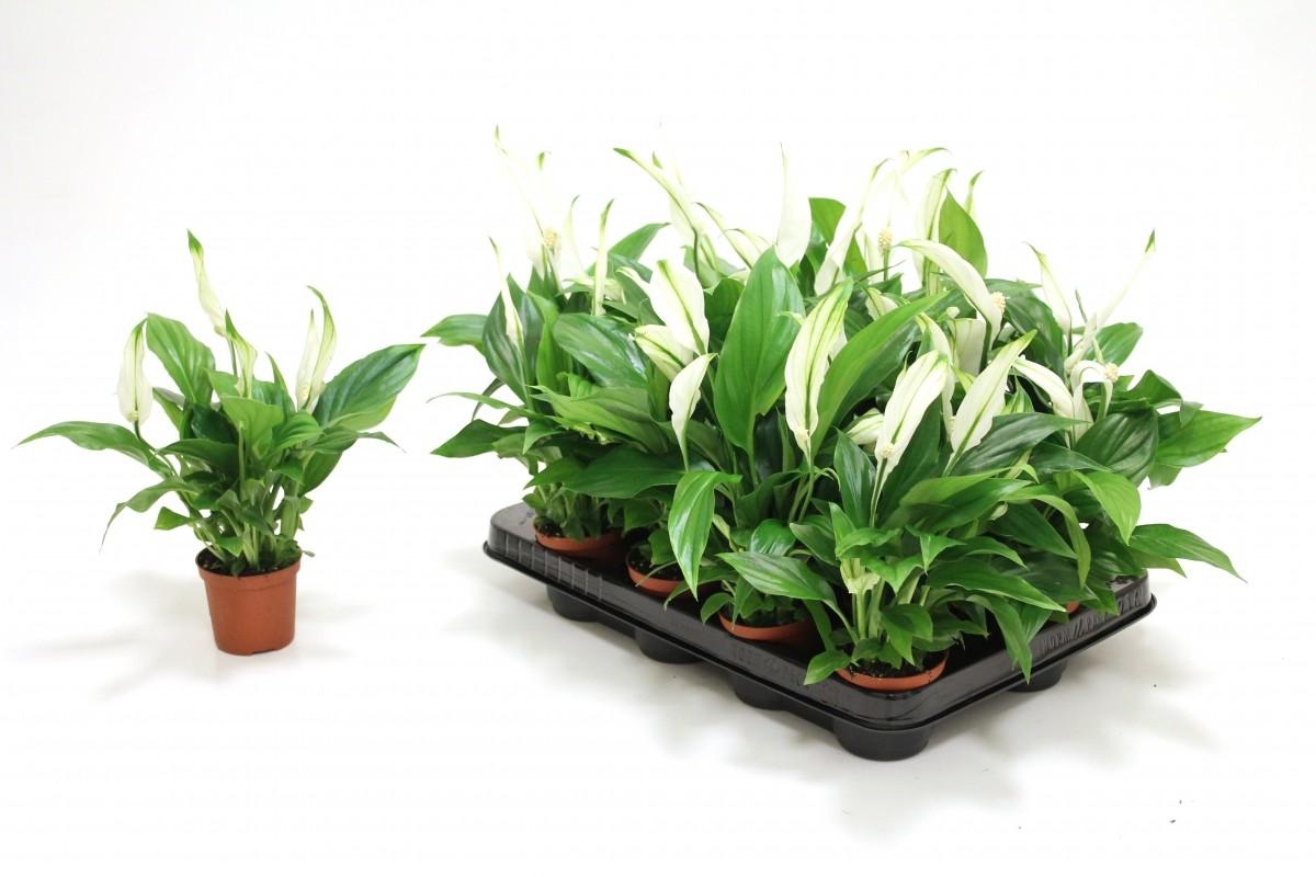 Spathiphyllum Pearl Cupido Indoor Plants