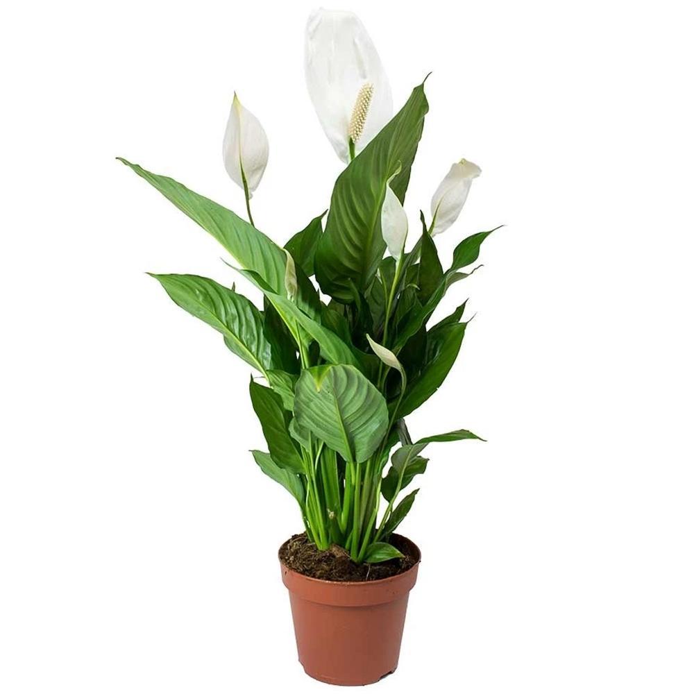 Spathiphyllum Bingo Cupido Indoor Plants