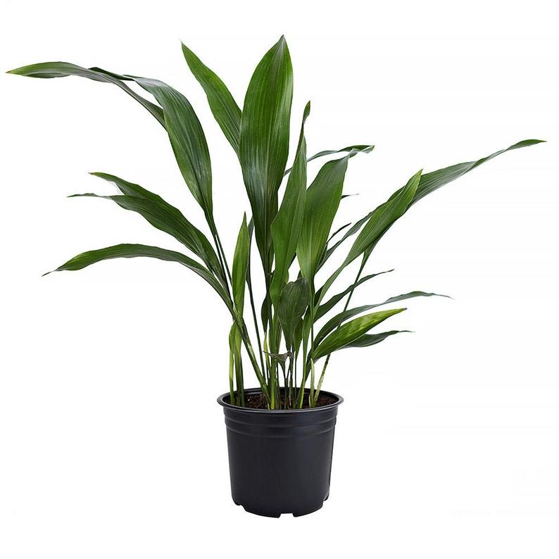 aspidistra elatior Indoor Plants