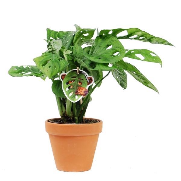 monstera obliqua 30 Indoor Plants