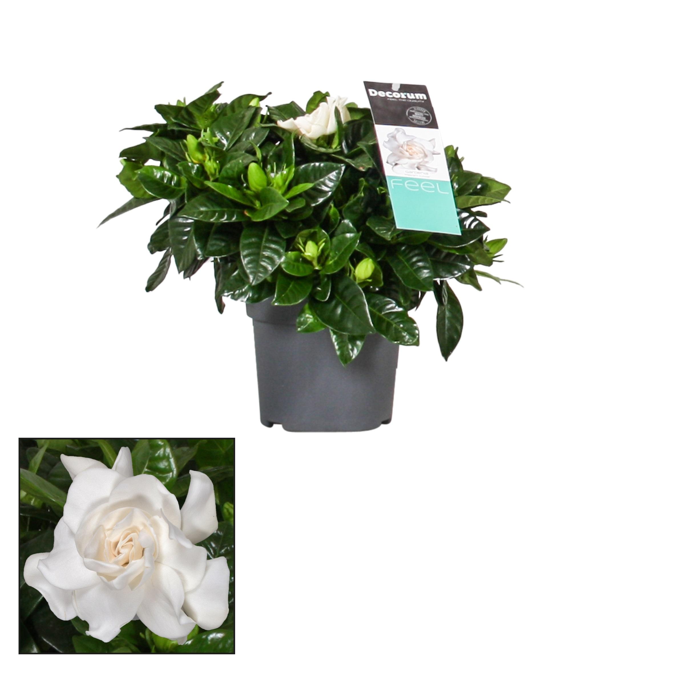 Gardenia Jasminoides Indoor Plants