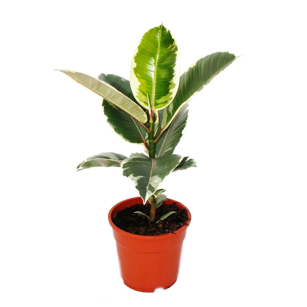 Ficus elastica tineke Indoor Plants