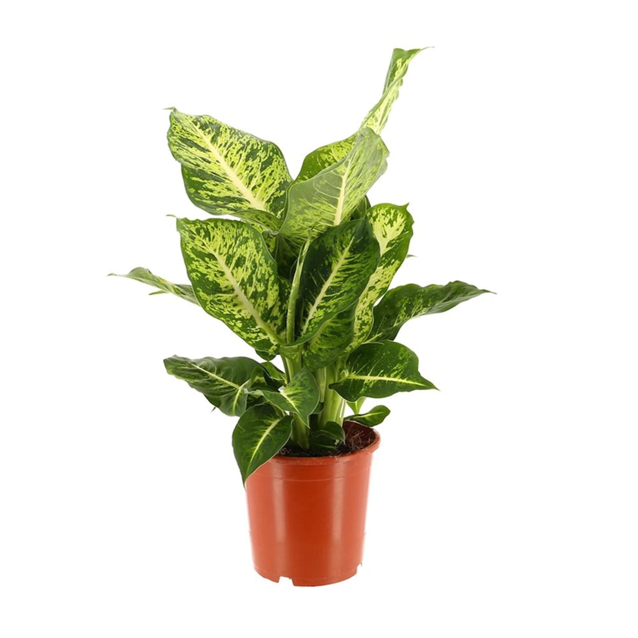 dieffenbachia Mars Indoor Plants