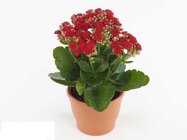 الكلانشو - أحمر نباتات داخلية
