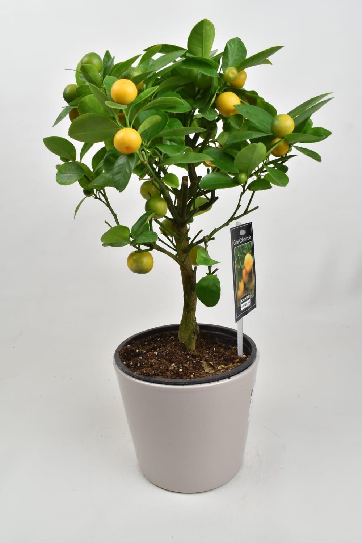 سيتروس كلامندين نباتات داخلية