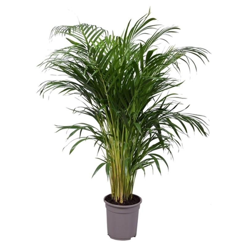 dypsis lutescens 85 Indoor Plants