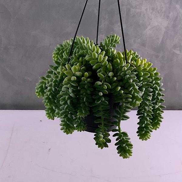Sedum Buritto Indoor Plants