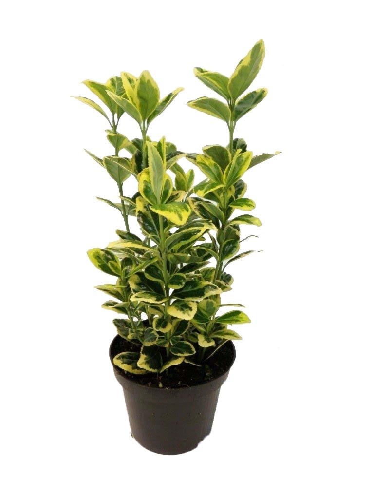 euonymus japonicus Indoor Plants