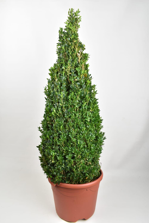 Pyramid  Buxus Sempervirens 90cm  Indoor Plants