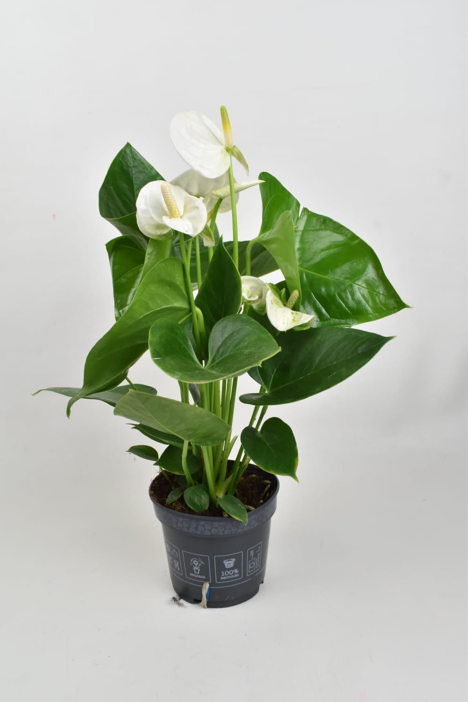أنثوريوم - أبيض نباتات داخلية