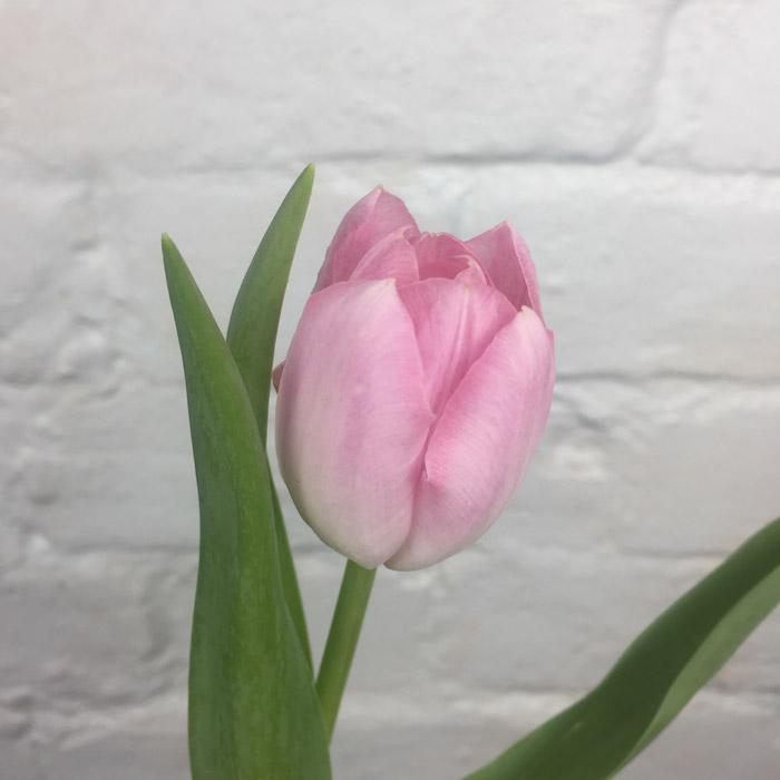 توليب - وردي  الزهور بالجملة