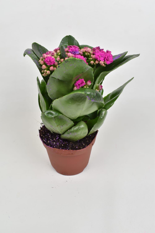 كالانشو  - بنفسجي لامع نباتات داخلية