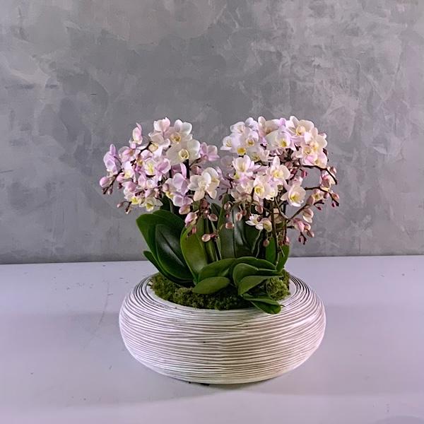 Midi orchids - pinkish white Premium Collection