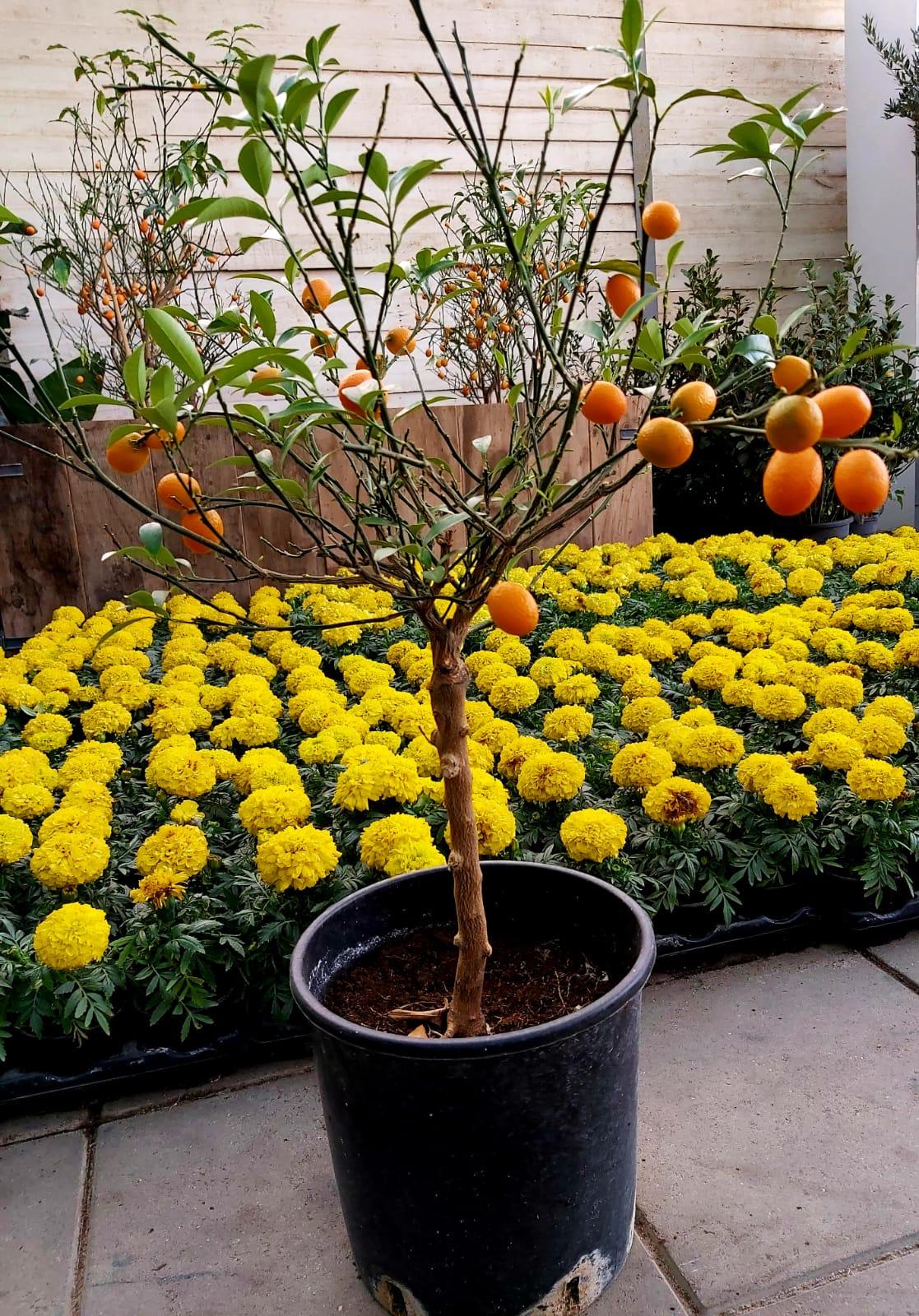 فورتونيلا مارجريتا نباتات خارجية