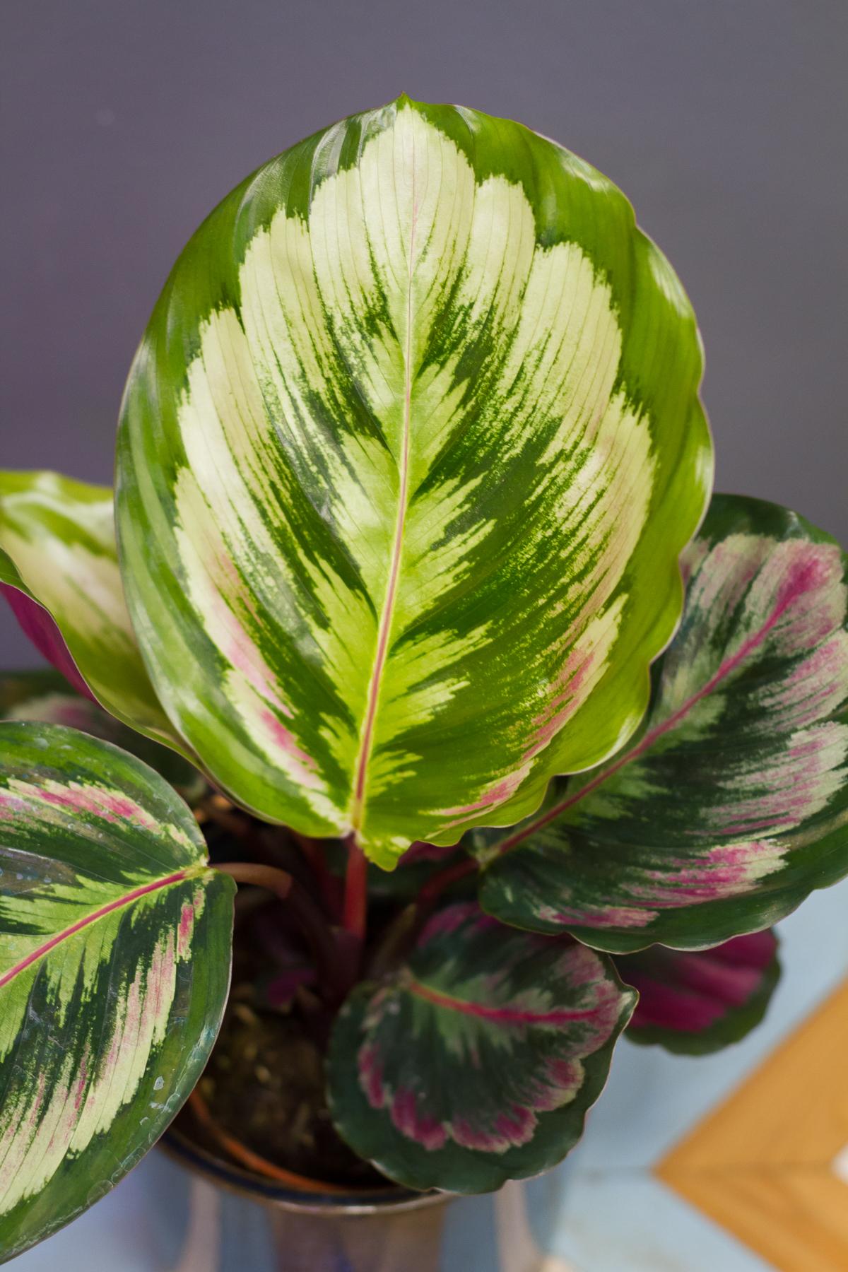 Calathea Roseopicta Misty Indoor Plants