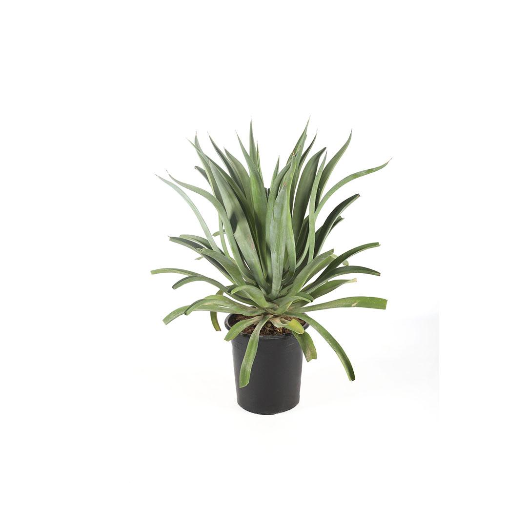 Agave Attenuata Outdoor Plants