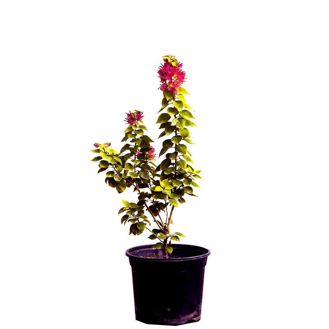Bougainvillea Dwarf -1 Outdoor Plants