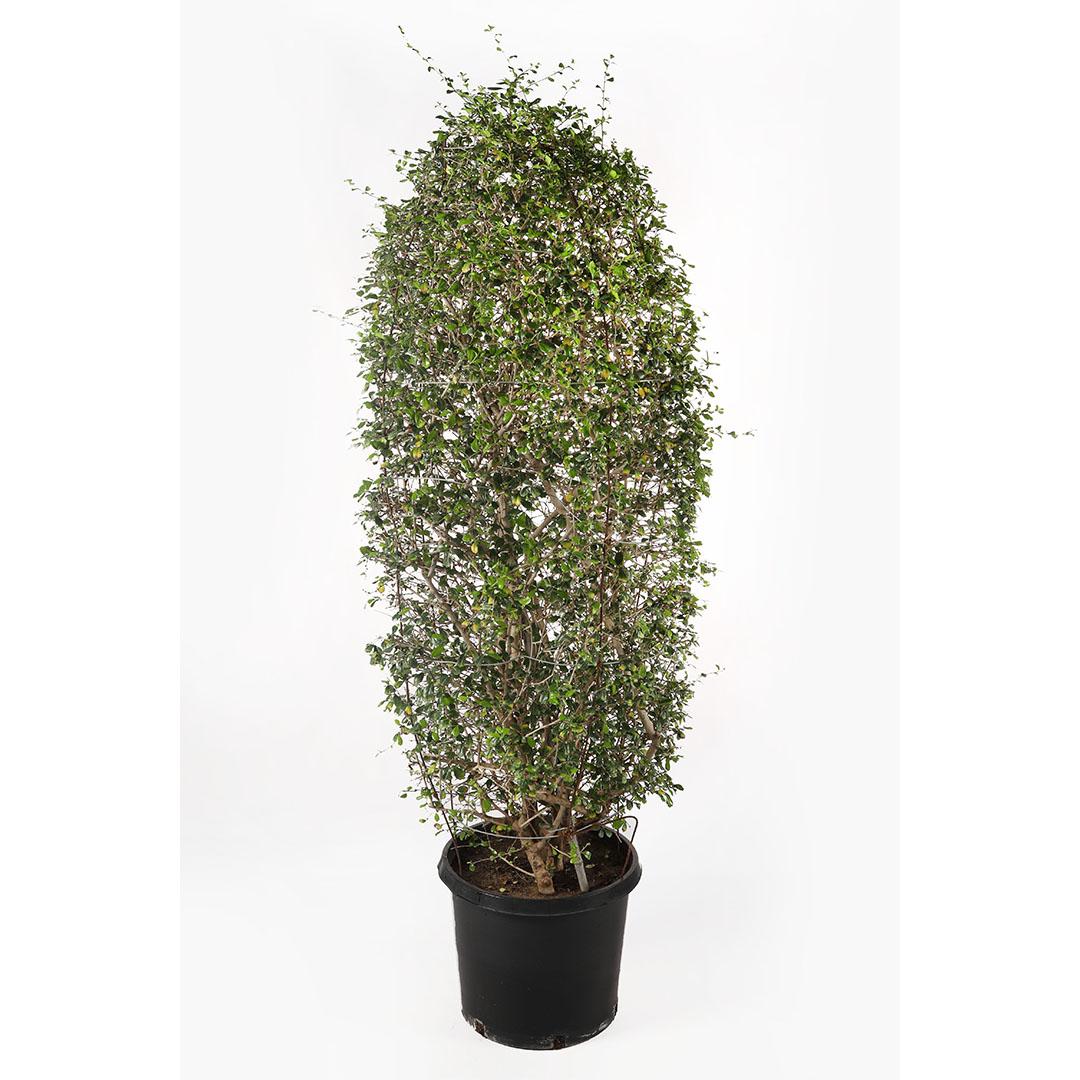 شجرة الشاي الفلبينية نباتات خارجية