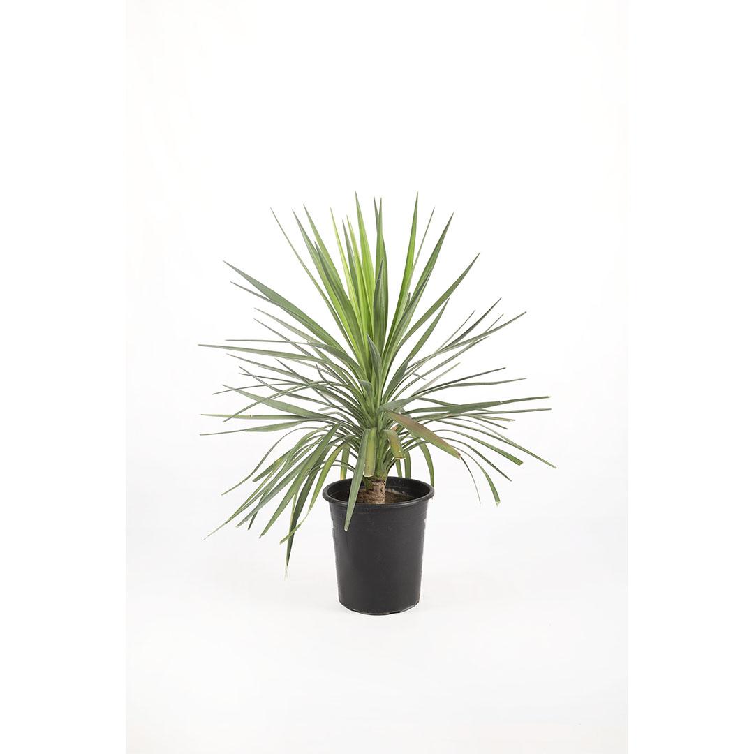 Yucca - Aloifolia 'Indoor Plants'