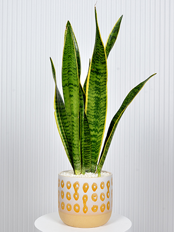 Beauty Sansevieria Office Plants