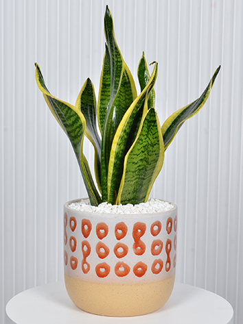 Sansevieria in an orange Vase  Premium Collection