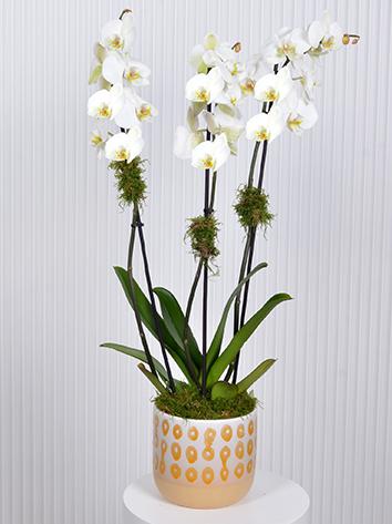 White Orchids Premium Collection
