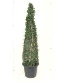 هرم كارمونا نباتات خارجية