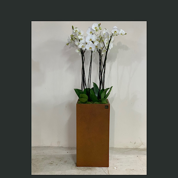 Phallaenopsis XXL Premium Collection