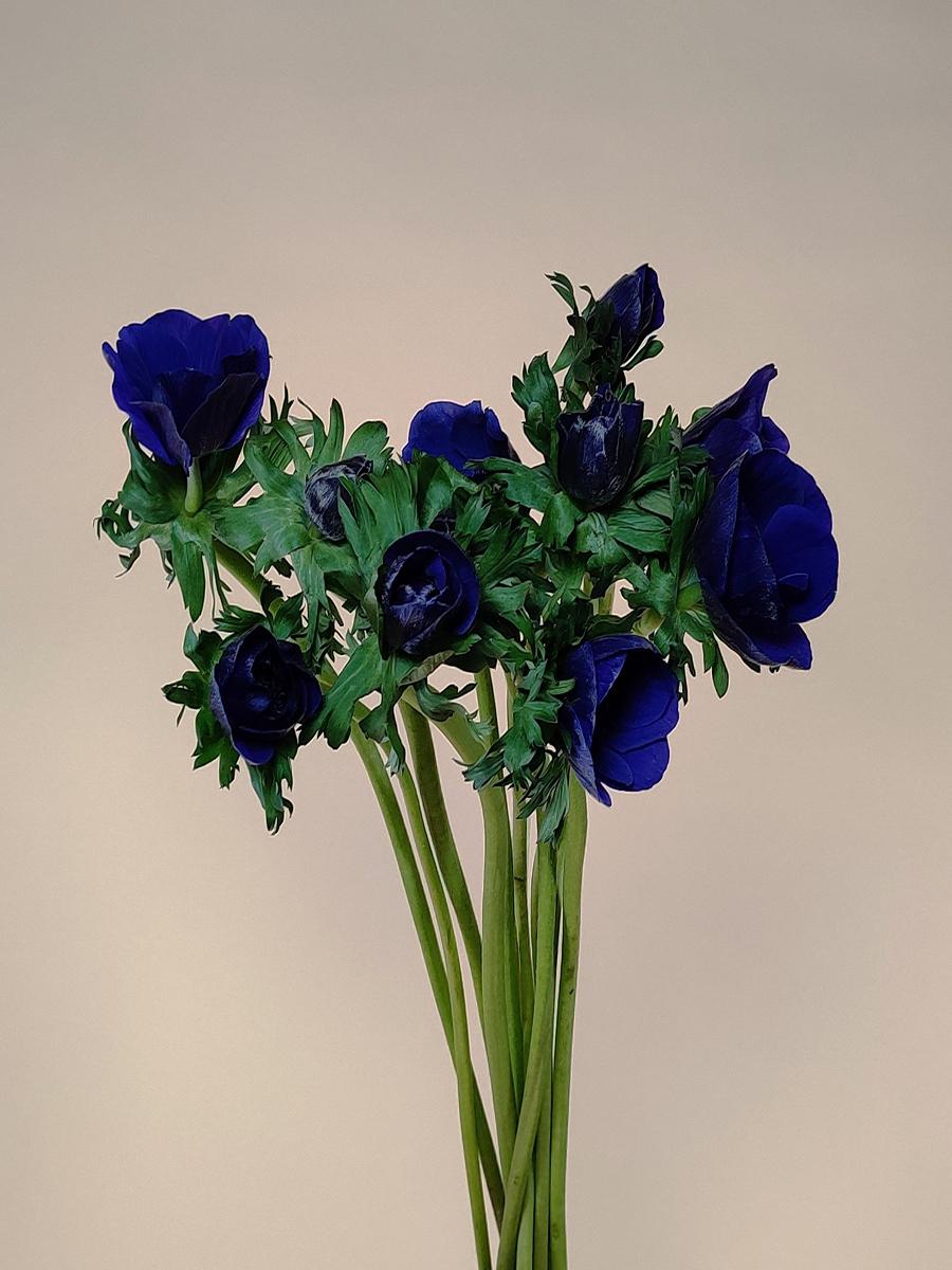 انيمون بلو  الزهور بالجملة