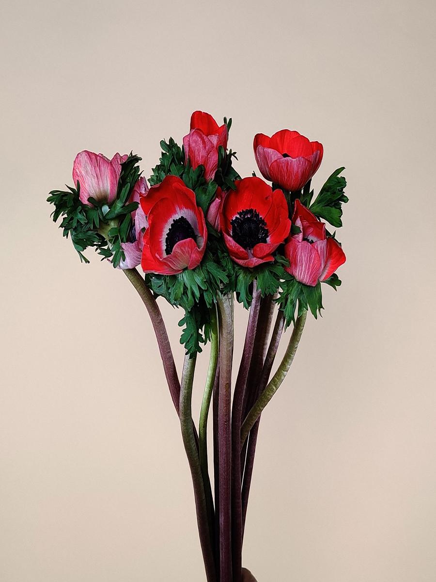 انيمون احمر  الزهور بالجملة