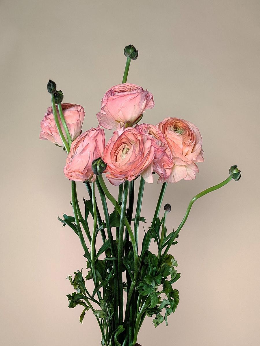 ريناكلوس بيج  الزهور بالجملة