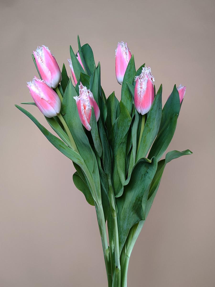 توليب باروت وردي  الزهور بالجملة