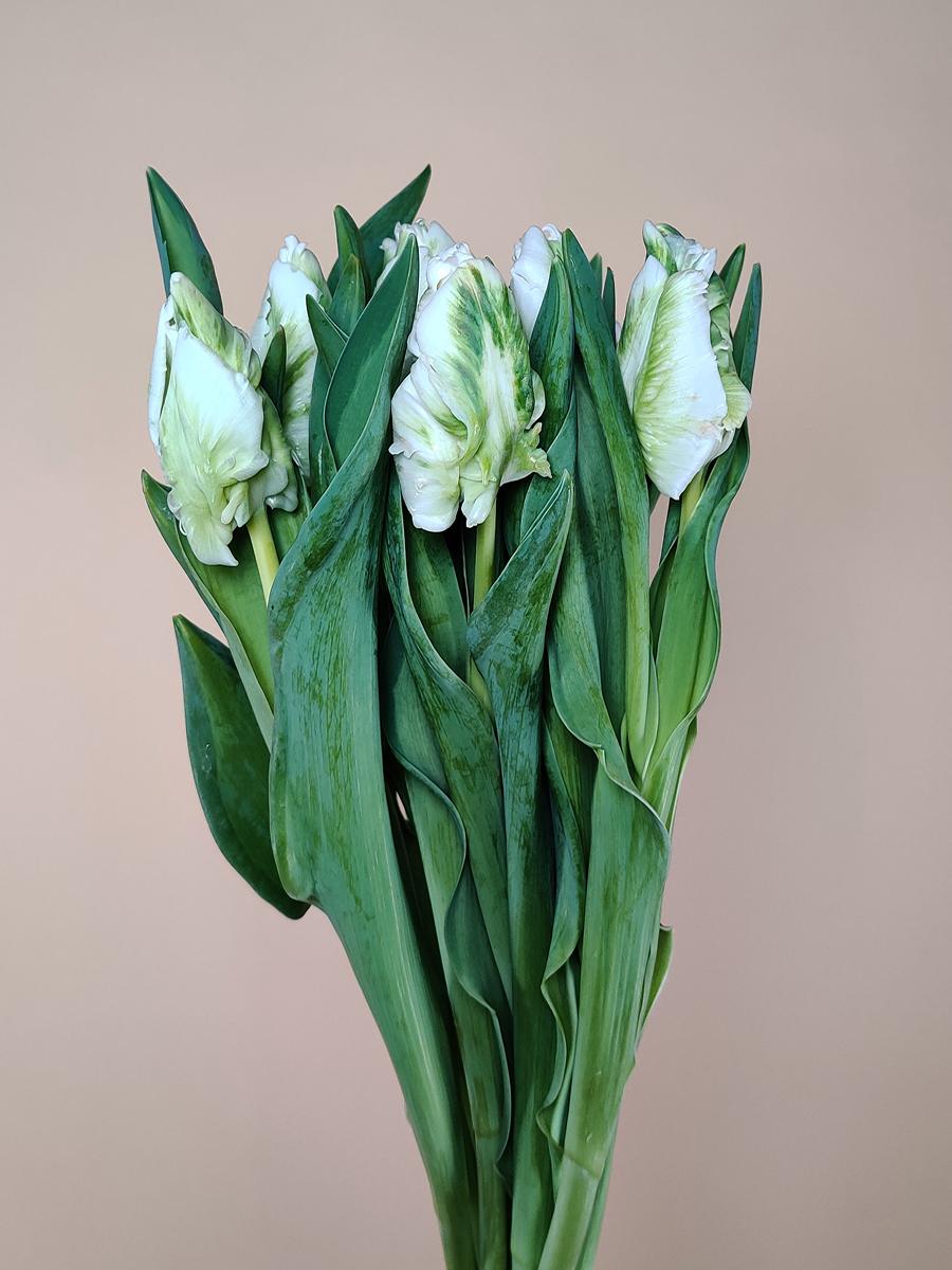 توليب باروت ابيض  الزهور بالجملة