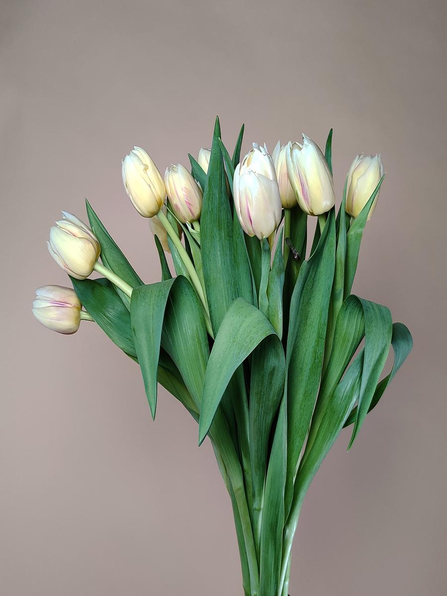 توليب دبل اصفر  الزهور بالجملة