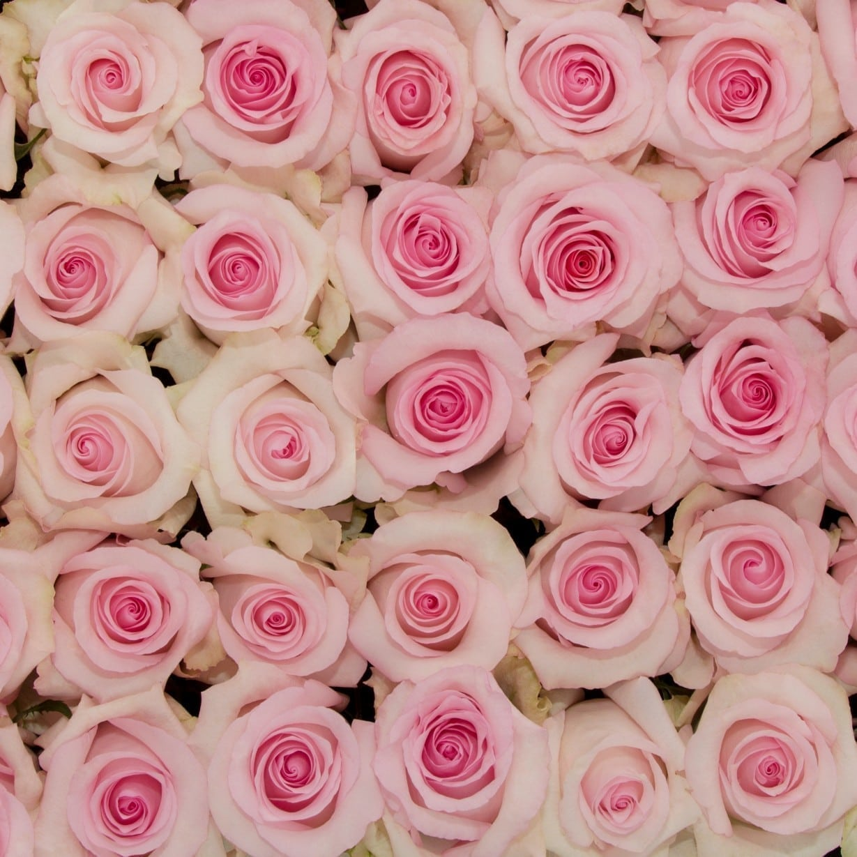 روز نينا بينك  الزهور بالجملة