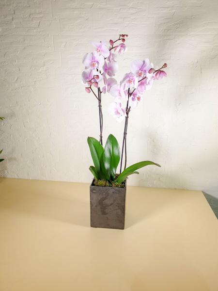 Squire Pot Orchids Office Plants