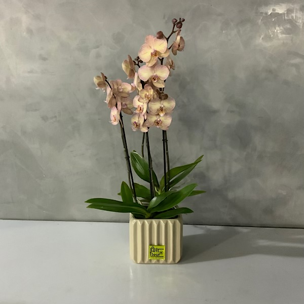 Peach orchids Premium Collection