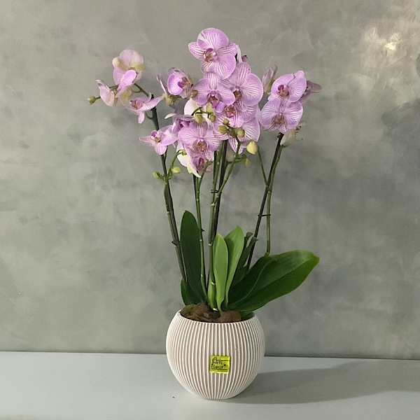 Warshaw orchids Premium Collection