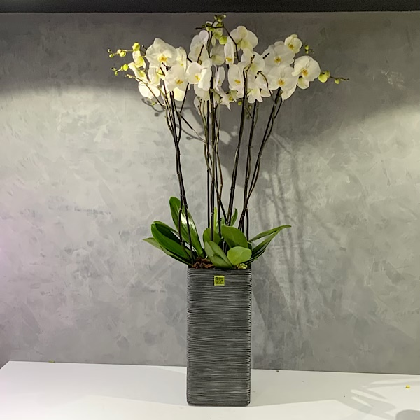 Jumbo orchids 125 cm Premium Collection