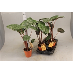 Alocasia Nairobi Nights (Duo) 'Indoor Plants'