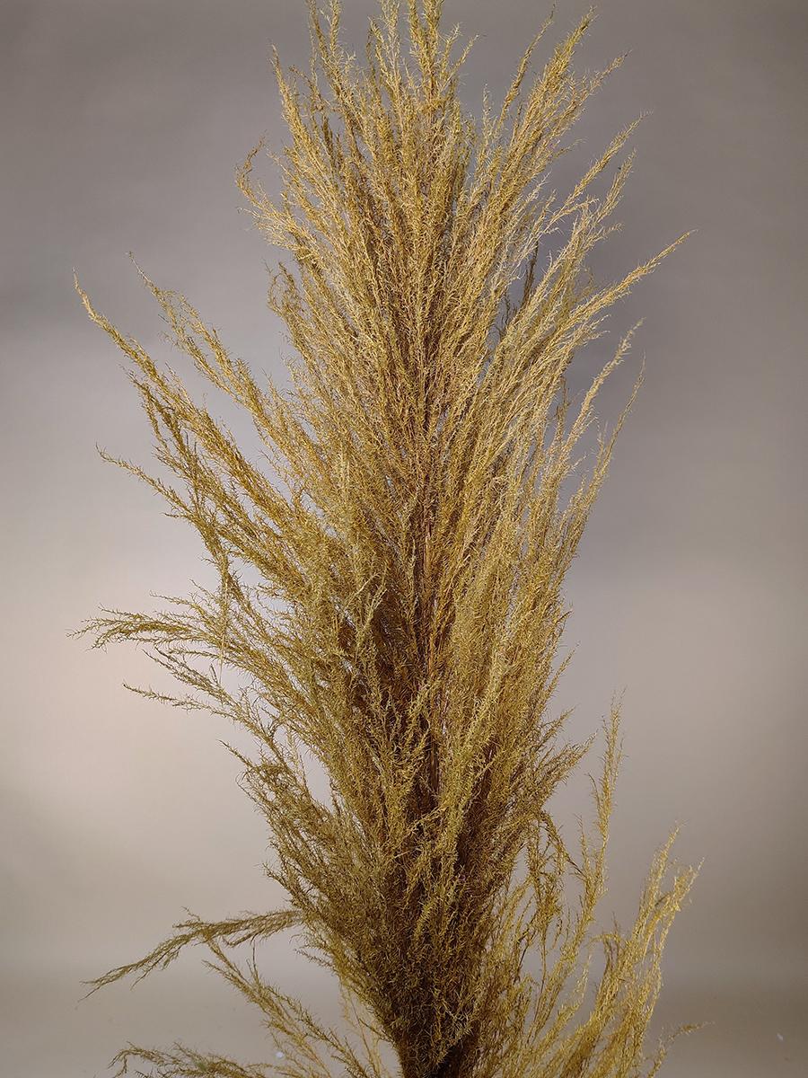 Dense cortaderia Pampa - Yellow Wholesale Flowers