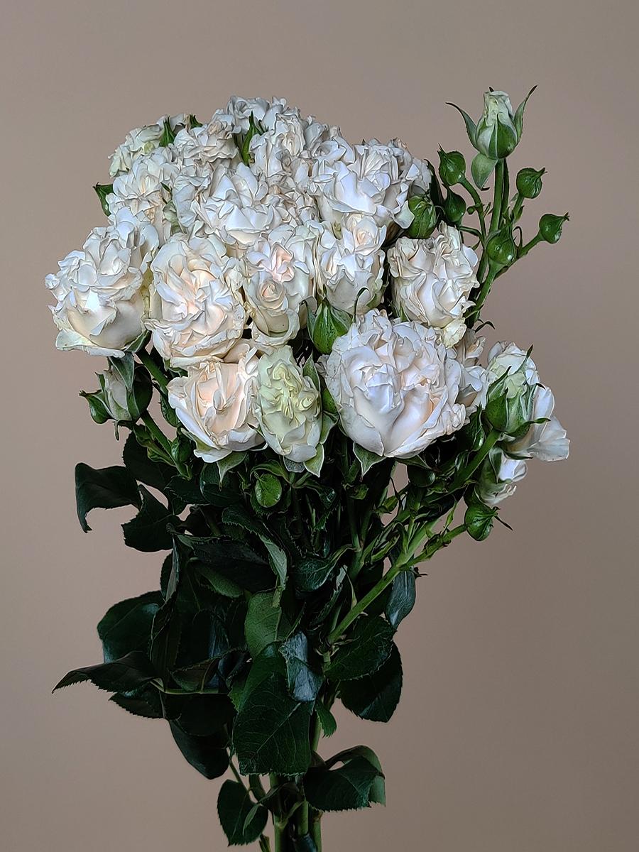 Garden spray Rose - white Wholesale Flowers