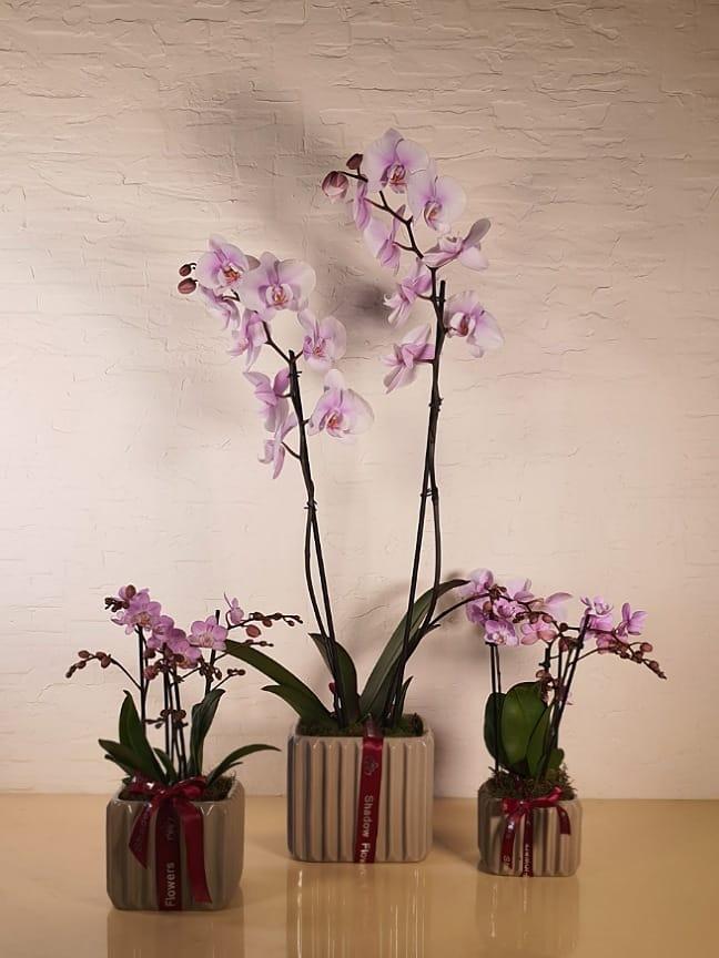 مجموعة من زهور الأوركيد الوردية التشكيلة الفخمة
