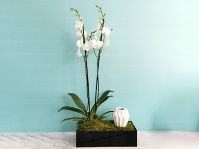 Orchid Plant 14 Ramadan Collection