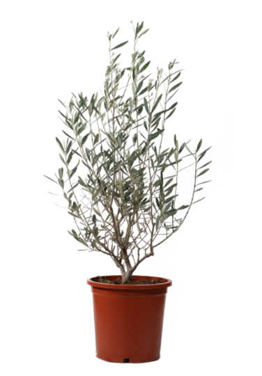 Olive Bushy Small Outdoor Plants