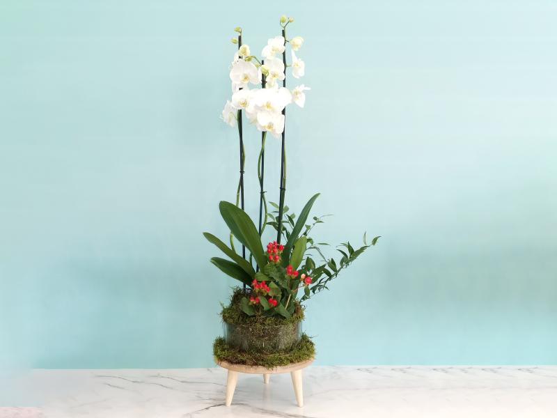 نبتة الأوركيد 16 مجموعة العيد