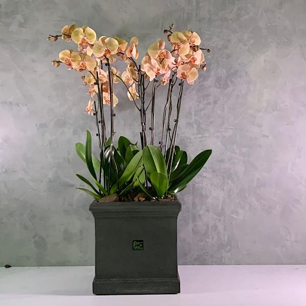 Classic Orchid arrangement - Peach Premium Collection