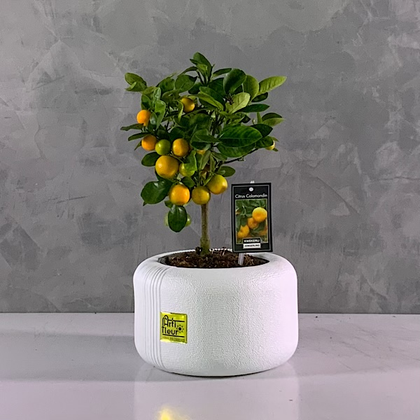 Citrina bonsai citrus Premium Collection