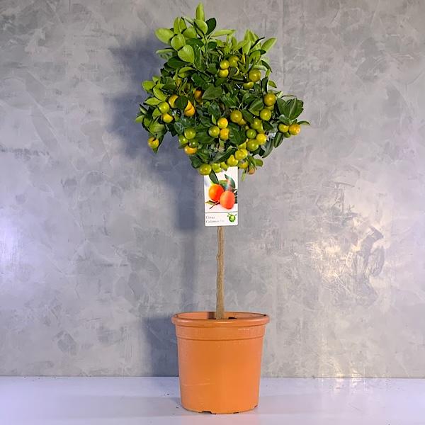 Citrus calomondin - 100cm Premium Collection